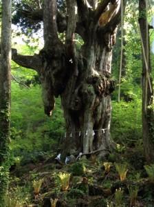 磐座の乳房杉